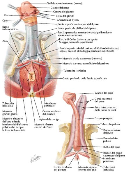 sistema nervoso del pene quale può essere la curvatura del pene